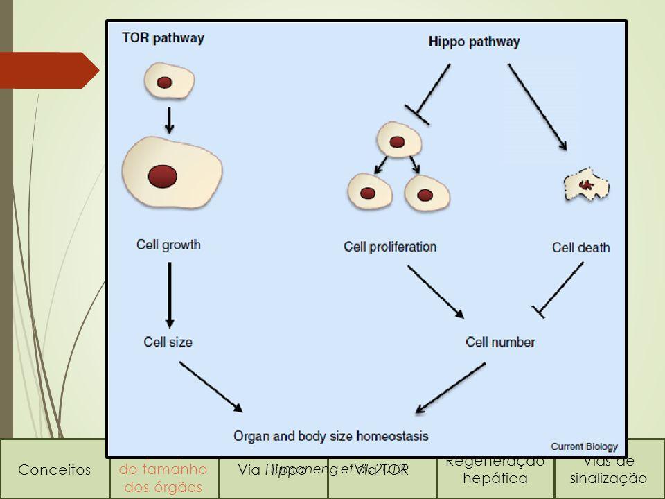 Conceitos Regulação do tamanho dos órgãos Via HippoVia TOR Regeneração hepática Vias de sinalização Quem comanda este processo.