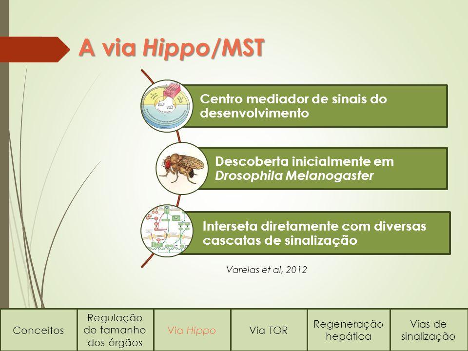 Conceitos Regulação do tamanho dos órgãos Via HippoVia TOR Regeneração hepática Vias de sinalização A via Hippo/ MST Centro mediador de sinais do desenvolvimento Descoberta inicialmente em Drosophila Melanogaster Interseta diretamente com diversas cascatas de sinalização Varelas et al, 2012