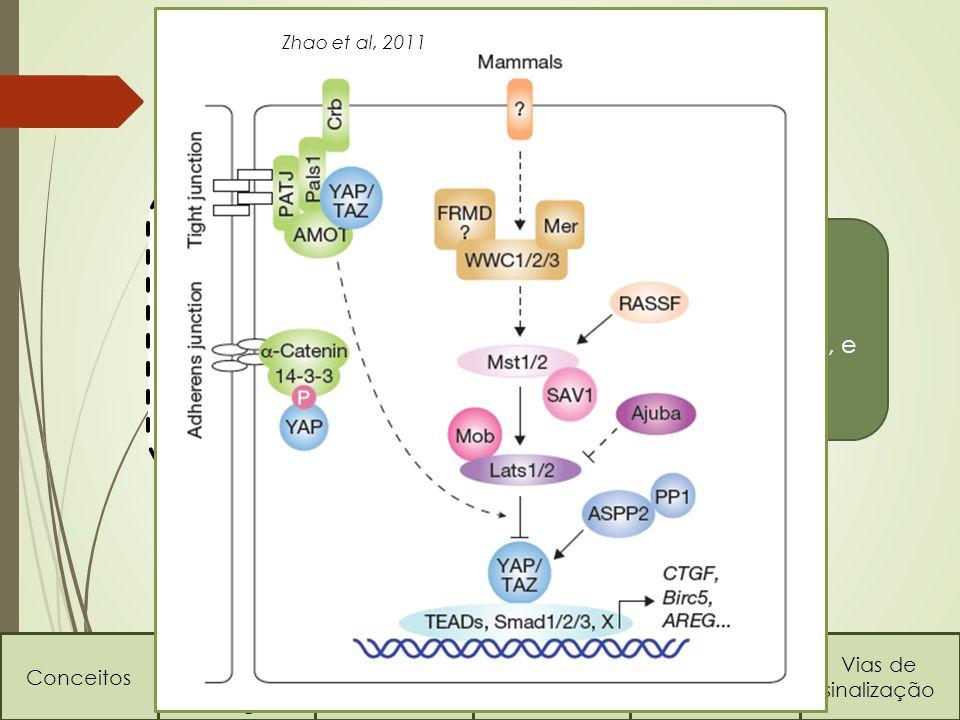 No fígado… Conceitos Regulação do tamanho dos órgãos Via HippoVia TOR Regeneração hepática Vias de sinalização No fígado, a via Hippo é uma das chaves