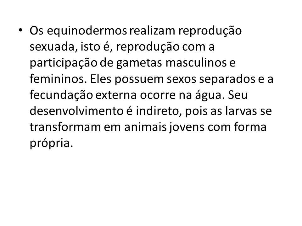 Os equinodermos realizam reprodução sexuada, isto é, reprodução com a participação de gametas masculinos e femininos. Eles possuem sexos separados e a