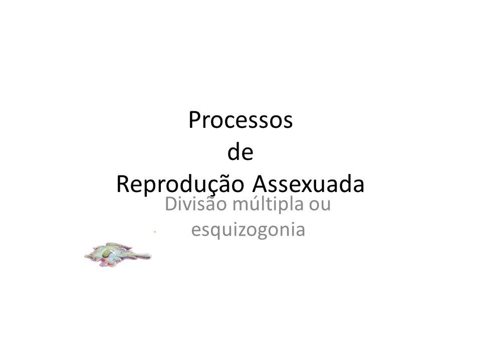 Processos de Reprodução Assexuada Divisão múltipla ou esquizogonia