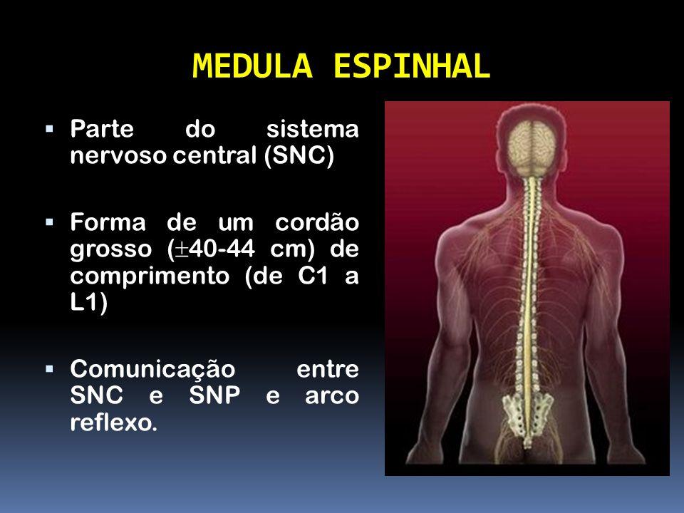 MEDULA ESPINHAL Parte do sistema nervoso central (SNC) Forma de um cordão grosso ( 40-44 cm) de comprimento (de C1 a L1) Comunicação entre SNC e SNP e