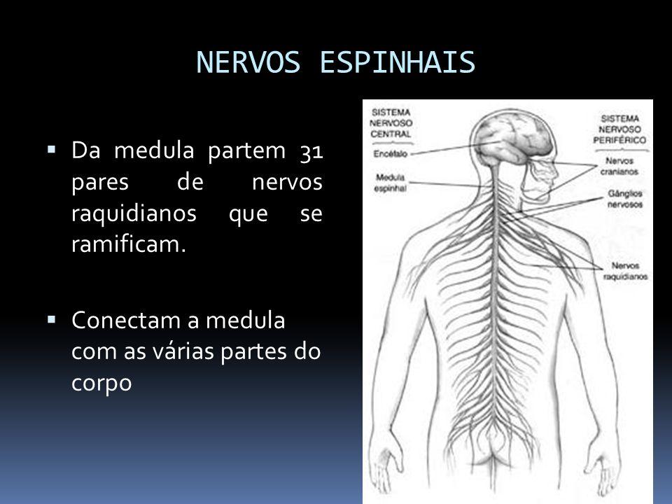NERVOS ESPINHAIS Da medula partem 31 pares de nervos raquidianos que se ramificam. Conectam a medula com as várias partes do corpo