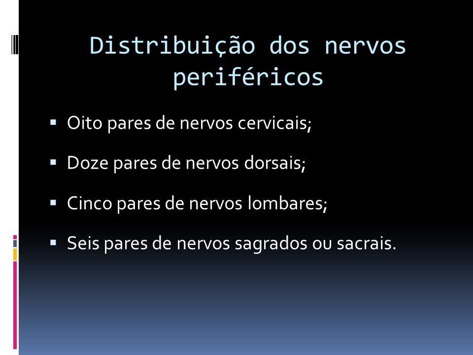 Distribuição dos nervos periféricos Oito pares de nervos cervicais; Doze pares de nervos dorsais; Cinco pares de nervos lombares; Seis pares de nervos