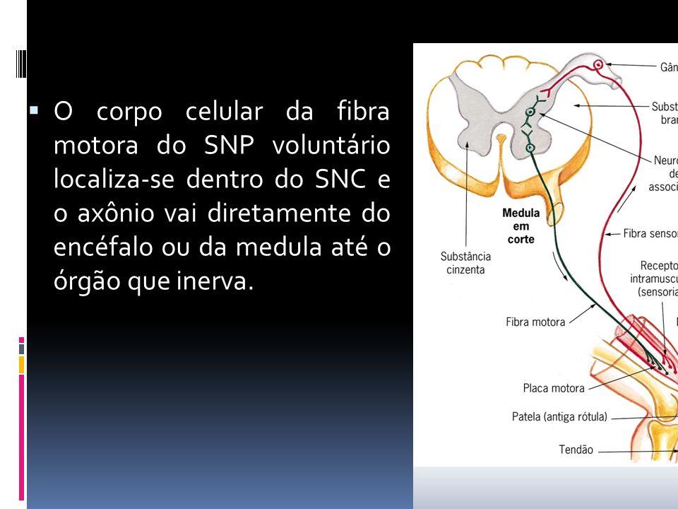O corpo celular da fibra motora do SNP voluntário localiza-se dentro do SNC e o axônio vai diretamente do encéfalo ou da medula até o órgão que inerva