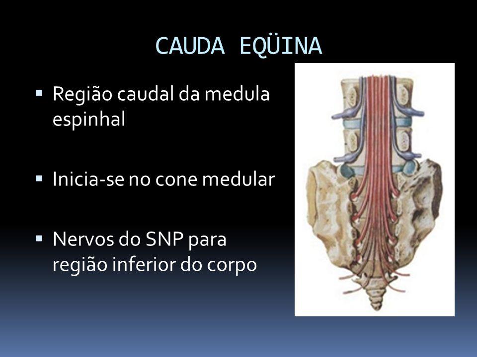 CAUDA EQÜINA Região caudal da medula espinhal Inicia-se no cone medular Nervos do SNP para região inferior do corpo