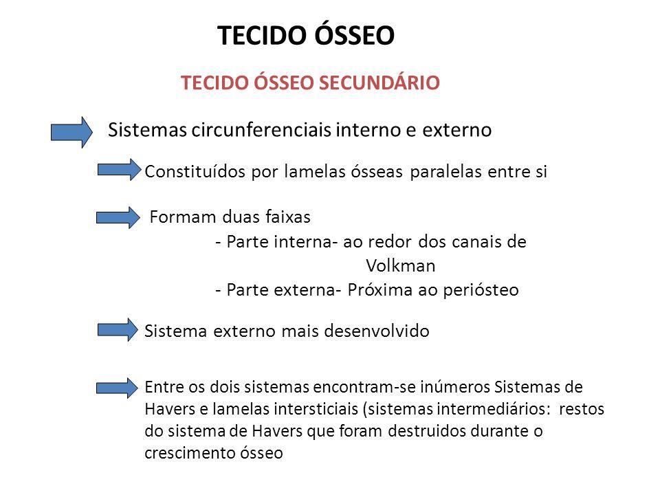TECIDO ÓSSEO TECIDO ÓSSEO SECUNDÁRIO Sistemas circunferenciais interno e externo Constituídos por lamelas ósseas paralelas entre si Formam duas faixas