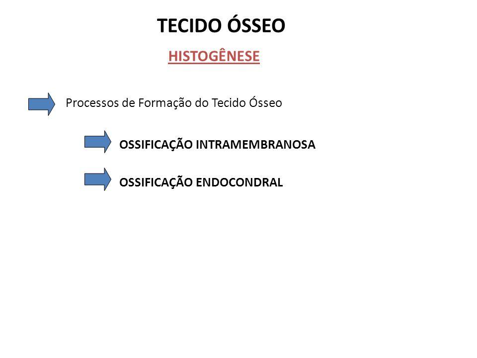 TECIDO ÓSSEO HISTOGÊNESE Processos de Formação do Tecido Ósseo OSSIFICAÇÃO INTRAMEMBRANOSA OSSIFICAÇÃO ENDOCONDRAL