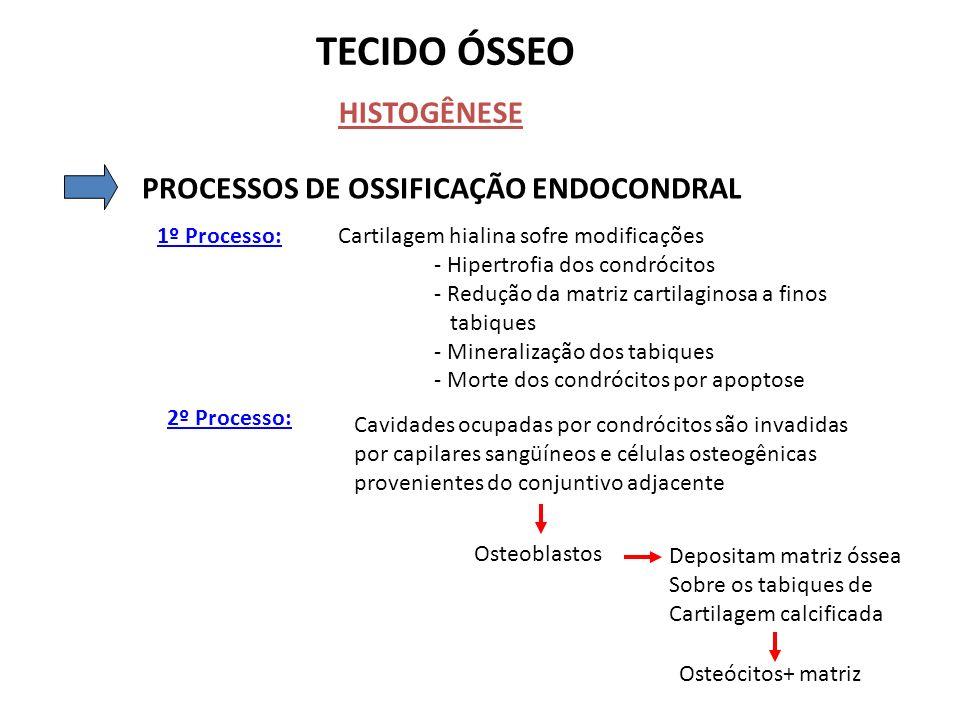TECIDO ÓSSEO HISTOGÊNESE PROCESSOS DE OSSIFICAÇÃO ENDOCONDRAL 1º Processo:Cartilagem hialina sofre modificações - Hipertrofia dos condrócitos - Reduçã