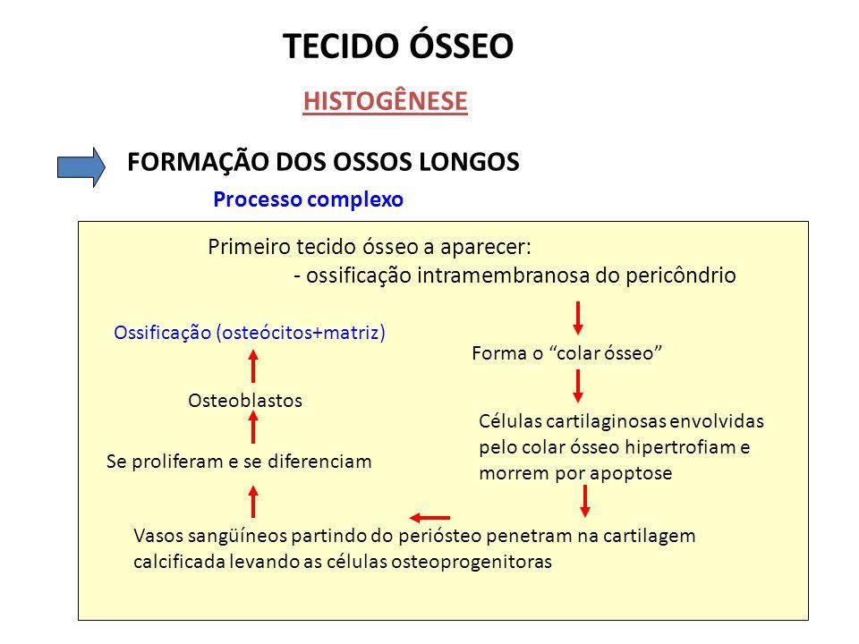 TECIDO ÓSSEO HISTOGÊNESE FORMAÇÃO DOS OSSOS LONGOS Processo complexo Primeiro tecido ósseo a aparecer: - ossificação intramembranosa do pericôndrio Fo