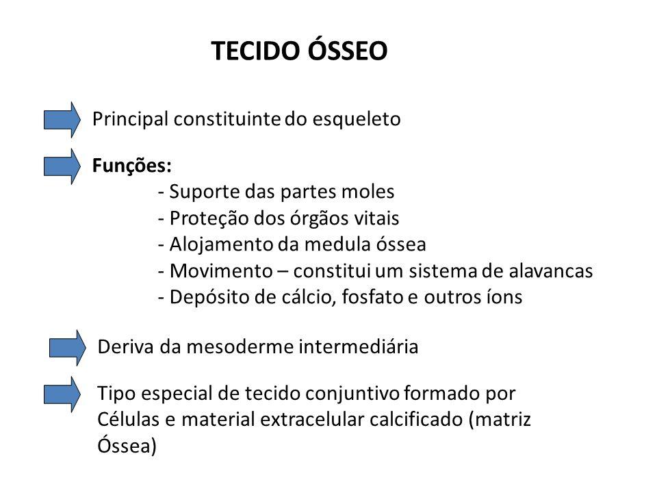 TECIDO ÓSSEO Osteócitos – situam-se em lacunas no interior da matriz Osteoblastos- células produtoras da parte orgânica do osso Osteoclastos- células gigantes, móveis, multinucleadas reabsorvem tecido ósseo participam dos processos de remodelação óssea Nutrição- depende de canalículos que existem na matriz e que chegam até as células ósseas