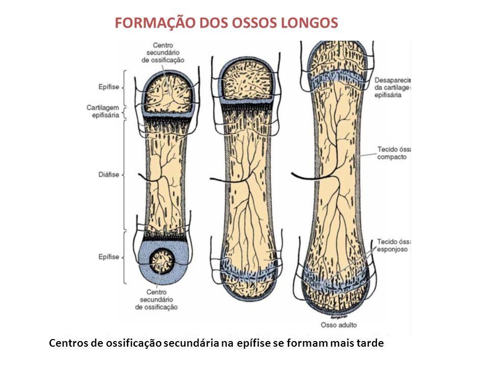 FORMAÇÃO DOS OSSOS LONGOS Centros de ossificação secundária na epífise se formam mais tarde