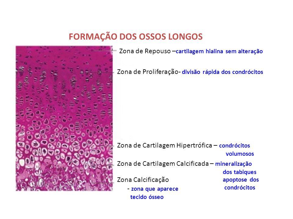 Zona de Repouso – cartilagem hialina sem alteração Zona de Proliferação- divisão rápida dos condrócitos Zona de Cartilagem Hipertrófica – condrócitos