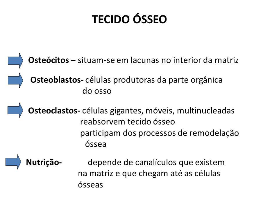 TECIDO ÓSSEO Osteócitos – situam-se em lacunas no interior da matriz Osteoblastos- células produtoras da parte orgânica do osso Osteoclastos- células