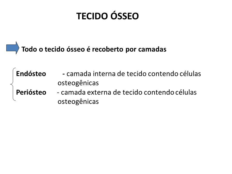 TECIDO ÓSSEO OSTEÓCITOS Células encontradas no interior da matriz óssea dentro das lacunas Cada lacuna contém um único osteócito Através dos canalículos os osteocitos fazem contato Com outros osteócitos através de junções intercomunicantes Pequena quantidade de matriz constitui a via de transporte de nutrientes e resíduos São células achatadas em forma de amêndoa