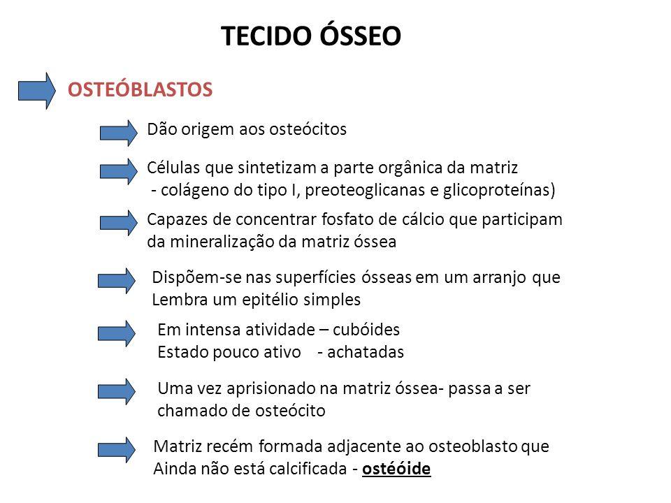 TECIDO ÓSSEO OSTEOBLASTOS Junqueira, 2004