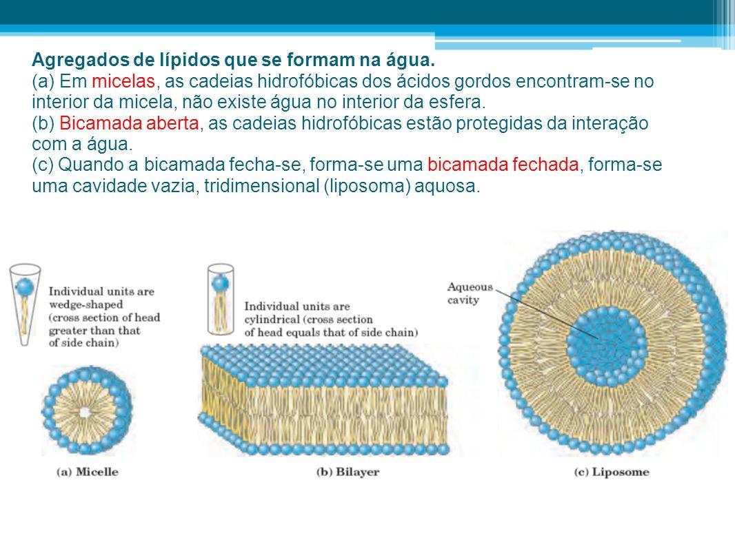 Agregados de lípidos que se formam na água. (a) Em micelas, as cadeias hidrofóbicas dos ácidos gordos encontram-se no interior da micela, não existe á