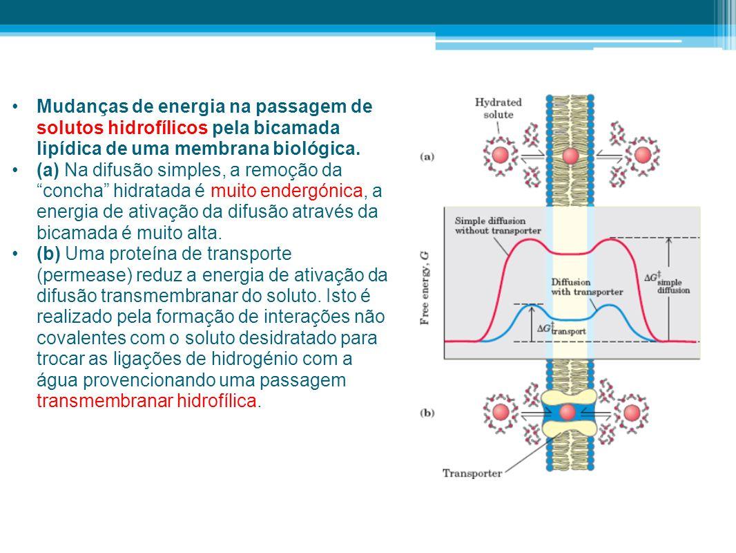 Mudanças de energia na passagem de solutos hidrofílicos pela bicamada lipídica de uma membrana biológica. (a) Na difusão simples, a remoção da concha