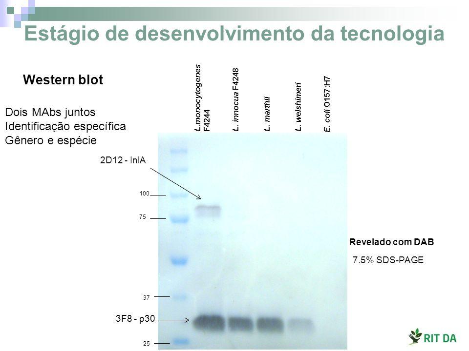 Revelado com DAB 2D12 - InlA 100 75 37 25 3F8 - p30 L.monocytogenes F4244 L. innocua F4248L. marthiiL. welshimeri 7.5% SDS-PAGE E. coli O157:H7 Dois M