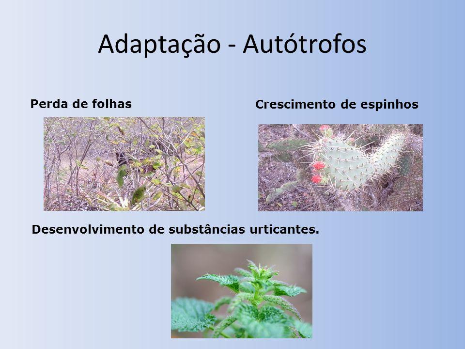 Adaptação - Autótrofos Desenvolvimento de substâncias urticantes. Crescimento de espinhos Perda de folhas