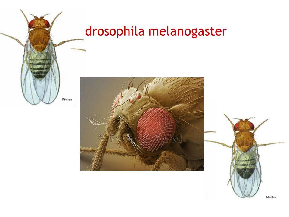 13 drosophila melanogaster