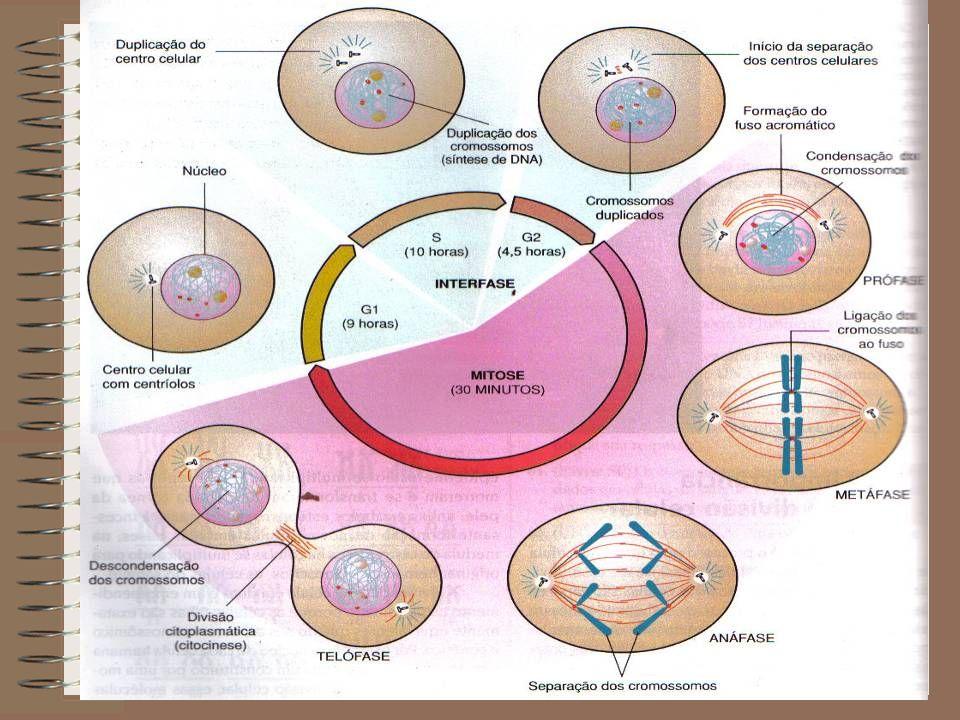 Interfase É o período que precede a divisão de uma célula.