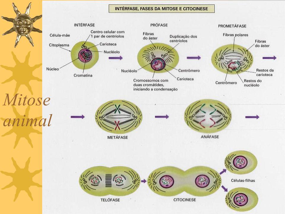 DIVISÃO CELULAR CICLO CELULAR · Interfase e Mitose Mitose vegetal Celula animalCélula Vegetal CentríoloCêntricaAcêntrica ÁsterAstralAnastral Citocines