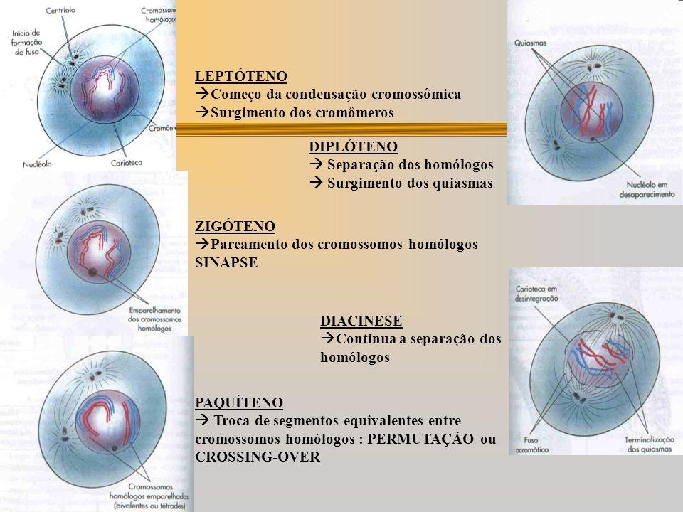 Diplóteno: melhor visualização dos quiasmas ( pontos de contato entre as cromátides) Diacinese: os cromossomos migram para o equador da célula. DIVISÃ