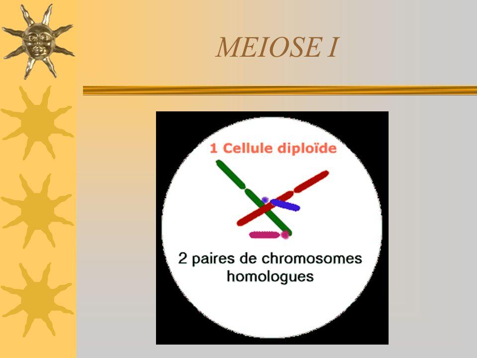 TELÓFASE II Reaparecimento da carioteca e do nucléolo Descondensação cromossômica Ocorre a citocinese Formação de quatro células haplóides e geneticam