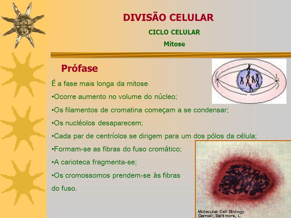 DIVISÃO CELULAR Origina duas novas c é lulas com o mesmo n ú mero de cromossomos da c é lula inicial. Importância: crescimento dos organismos multicel