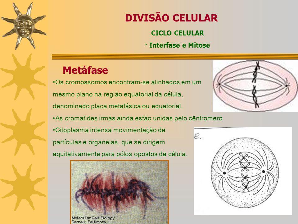 DIVISÃO CELULAR CICLO CELULAR Mitose – Prófase – Formação do núcleo das fibras do fuso