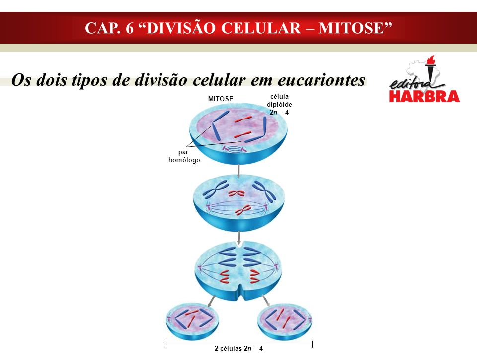 CAP. 6 DIVISÃO CELULAR – MITOSE Os dois tipos de divisão celular em eucariontes MITOSE par homólogo célula diplóide 2n = 4 2 células 2n = 4