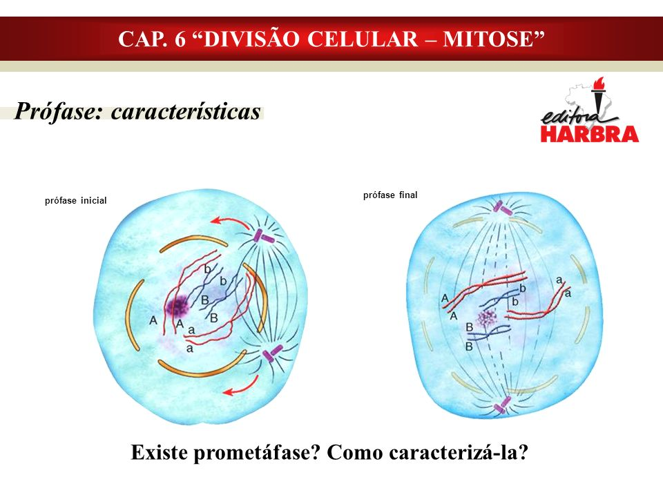 Prófase: características CAP. 6 DIVISÃO CELULAR – MITOSE Existe prometáfase? Como caracterizá-la? prófase inicial prófase final