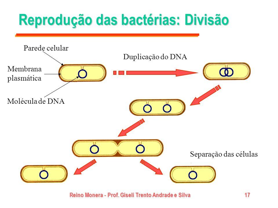 Reino Monera - Prof. Giseli Trento Andrade e Silva17 Reprodução das bactérias: Divisão Duplicação do DNA Separação das células Parede celular Membrana