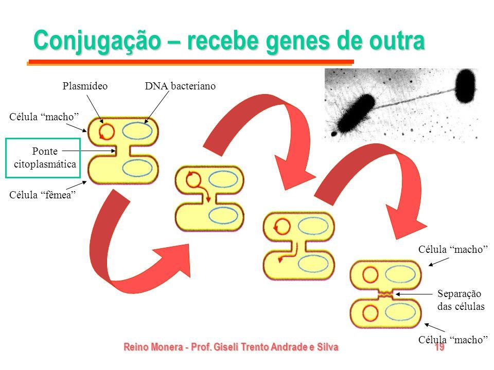 Reino Monera - Prof. Giseli Trento Andrade e Silva19 Conjugação – recebe genes de outra PlasmídeoDNA bacteriano Ponte citoplasmática Célula fêmea Célu
