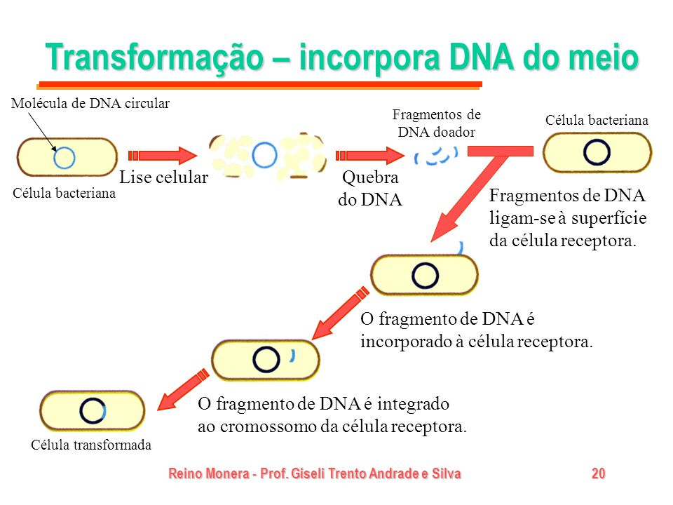 Reino Monera - Prof. Giseli Trento Andrade e Silva20 Transformação – incorpora DNA do meio Célula bacteriana Lise celularQuebra do DNA Fragmentos de D
