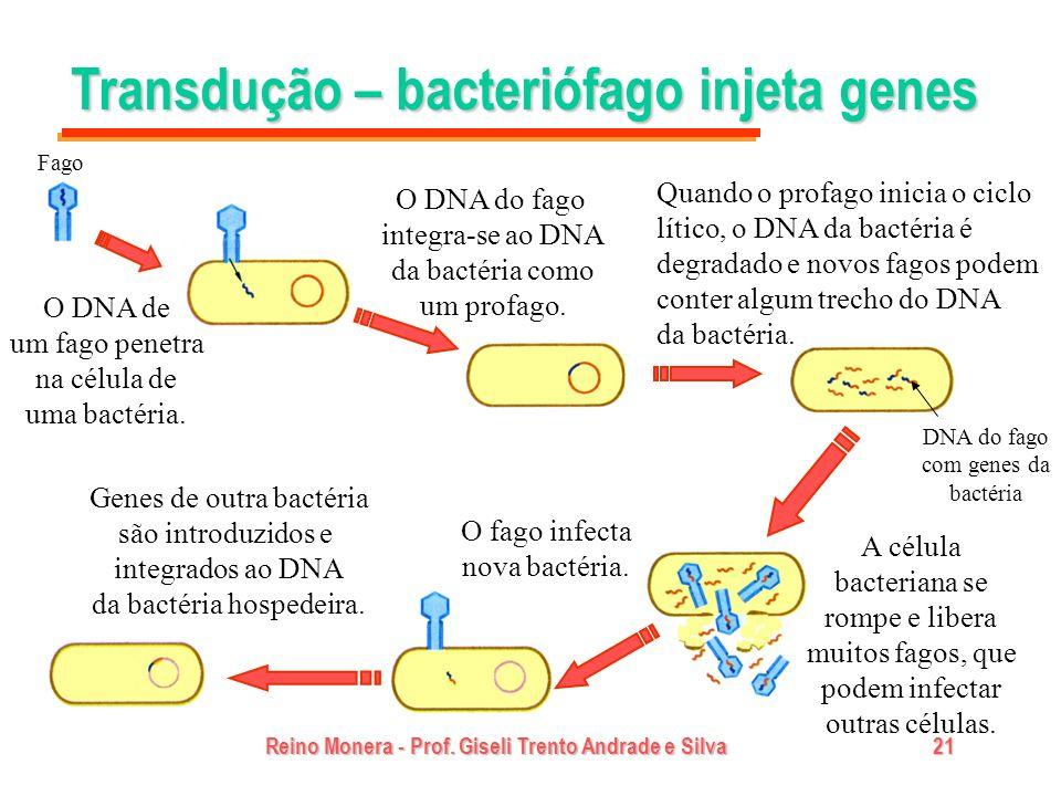 Reino Monera - Prof. Giseli Trento Andrade e Silva21 Transdução – bacteriófago injeta genes Fago O DNA de um fago penetra na célula de uma bactéria. O