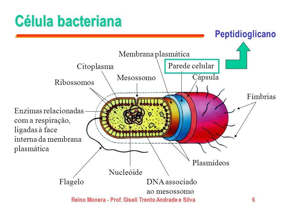 Reino Monera - Prof. Giseli Trento Andrade e Silva6 Célula bacteriana Fímbrias Cápsula Parede celular Plasmídeos DNA associado ao mesossomo Nucleóide