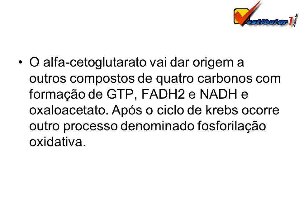 O alfa-cetoglutarato vai dar origem a outros compostos de quatro carbonos com formação de GTP, FADH2 e NADH e oxaloacetato. Após o ciclo de krebs ocor
