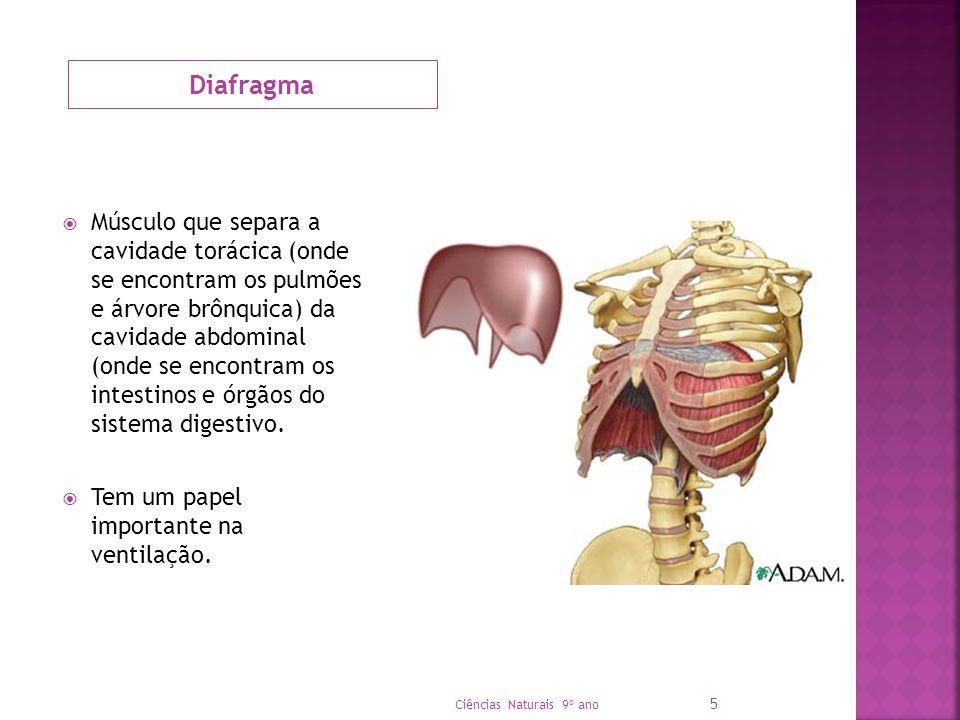 Diafragma Músculo que separa a cavidade torácica (onde se encontram os pulmões e árvore brônquica) da cavidade abdominal (onde se encontram os intesti