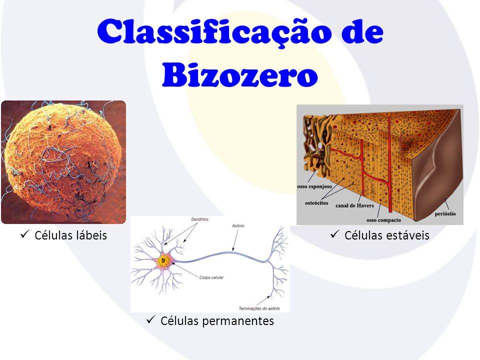 Classificação de Bizozero Células permanentes Células lábeis Células estáveis