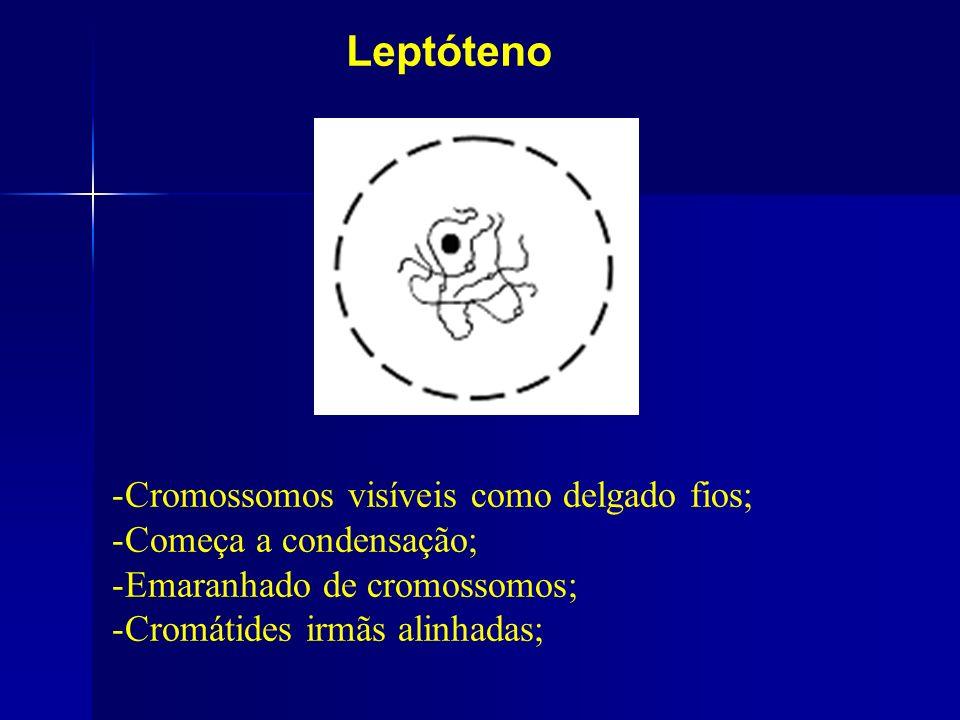 Leptóteno -Cromossomos visíveis como delgado fios; -Começa a condensação; -Emaranhado de cromossomos; -Cromátides irmãs alinhadas;