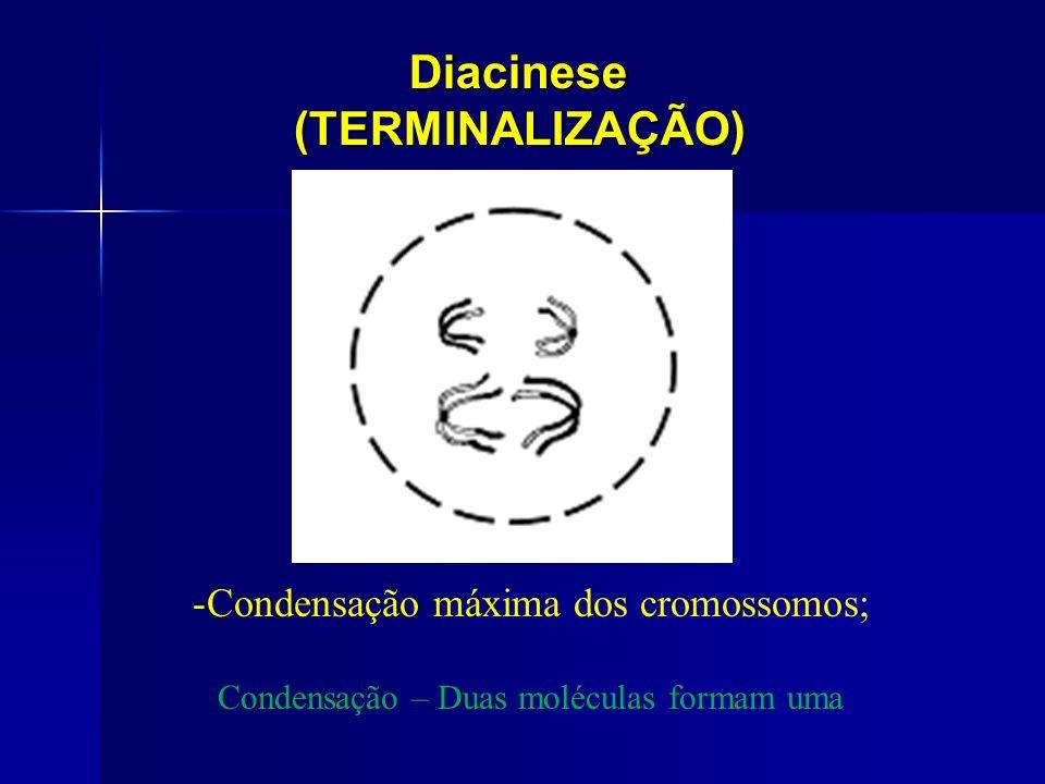 Diacinese(TERMINALIZAÇÃO) -Condensação máxima dos cromossomos; Condensação – Duas moléculas formam uma