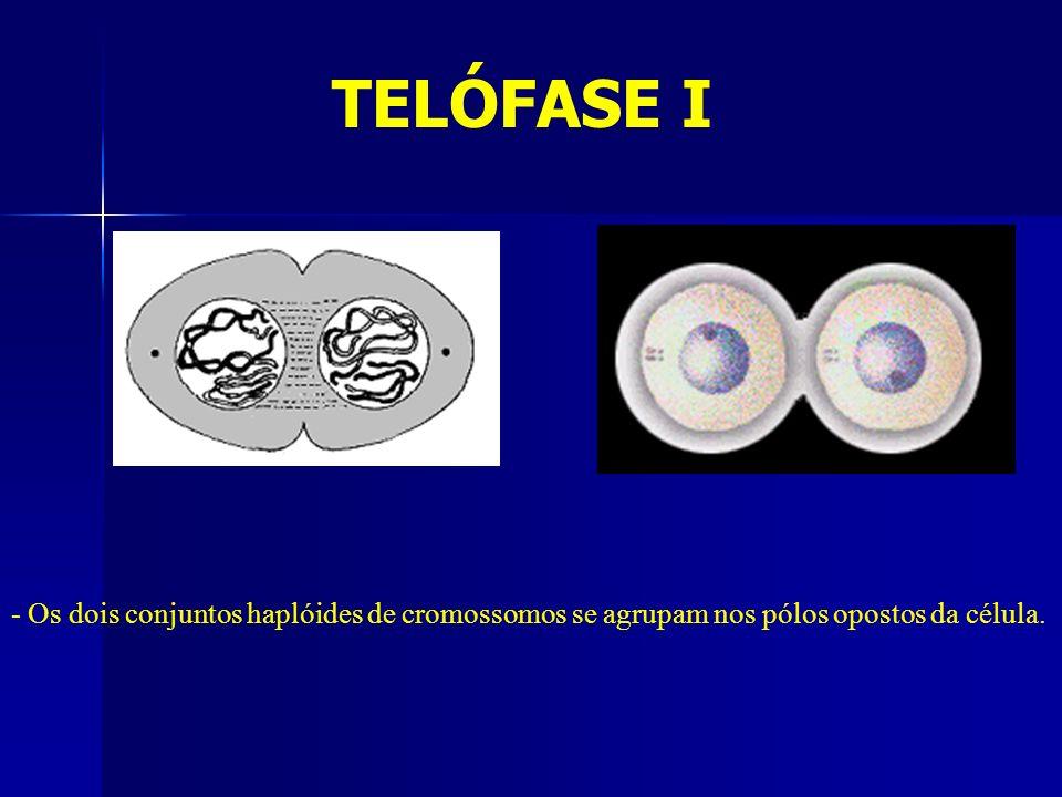 TELÓFASE I - Os dois conjuntos haplóides de cromossomos se agrupam nos pólos opostos da célula.