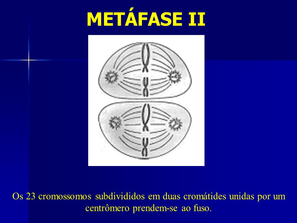 METÁFASE II Os 23 cromossomos subdivididos em duas cromátides unidas por um centrômero prendem-se ao fuso.