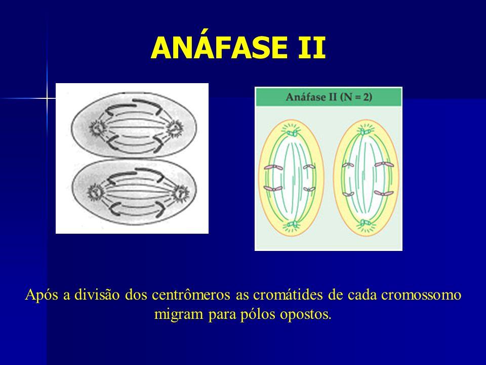 ANÁFASE II Após a divisão dos centrômeros as cromátides de cada cromossomo migram para pólos opostos.