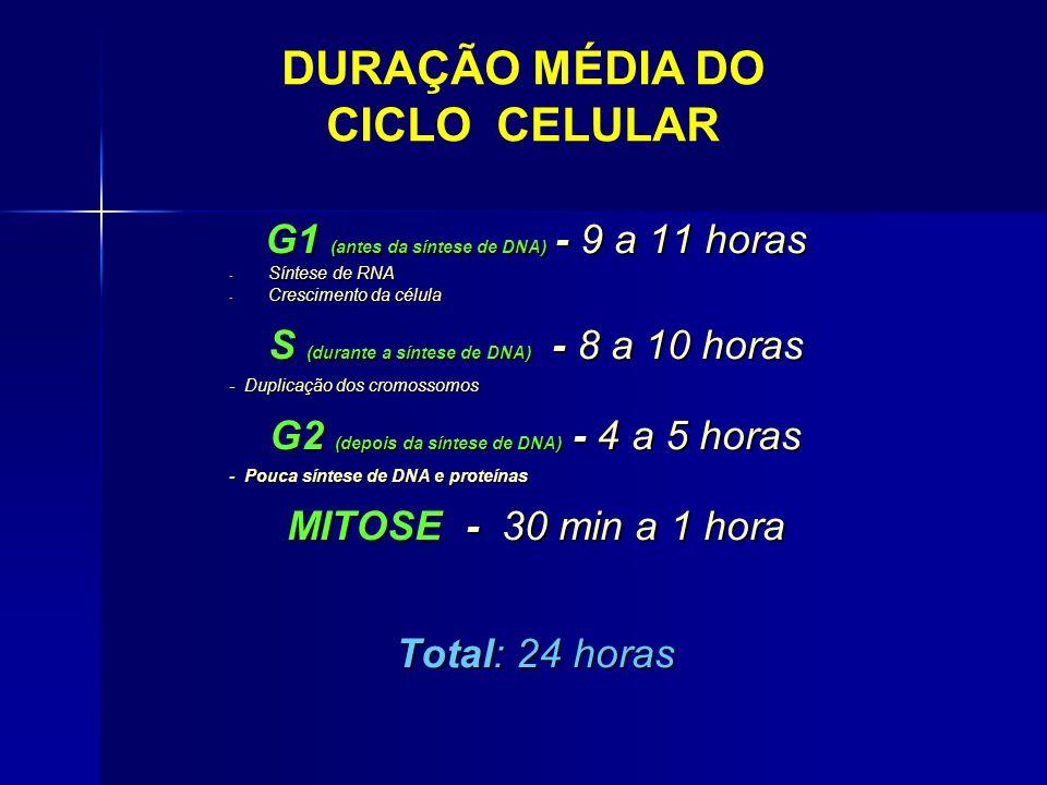 DURAÇÃO MÉDIA DO CICLO CELULAR G1 (antes da síntese de DNA) - 9 a 11 horas - Síntese de RNA - Crescimento da célula S (durante a síntese de DNA) - 8 a 10 horas - Duplicação dos cromossomos G2 (depois da síntese de DNA) - 4 a 5 horas - Pouca síntese de DNA e proteínas MITOSE - 30 min a 1 hora Total: 24 horas