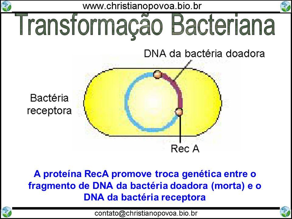A proteína RecA promove troca genética entre o fragmento de DNA da bactéria doadora (morta) e o DNA da bactéria receptora