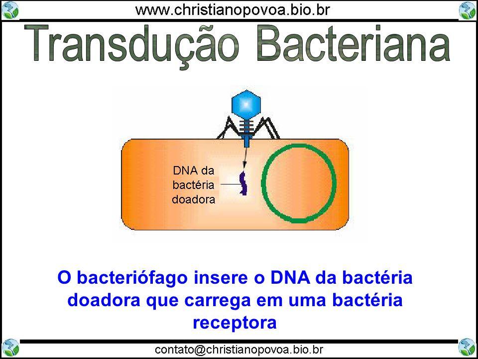 O bacteriófago insere o DNA da bactéria doadora que carrega em uma bactéria receptora