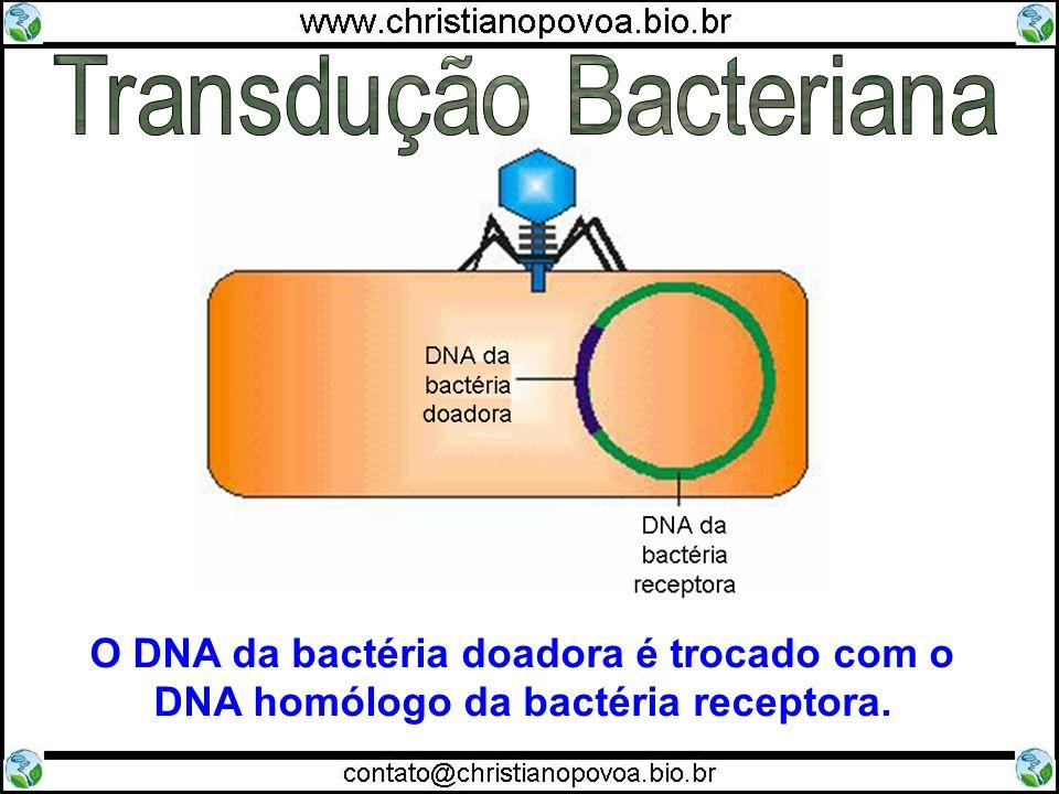 O DNA da bactéria doadora é trocado com o DNA homólogo da bactéria receptora.